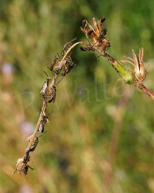 Bild: die Schmalbienenherren, Männchen, Lasioglossum spec., finden sich am Schlafplatz ein ..
