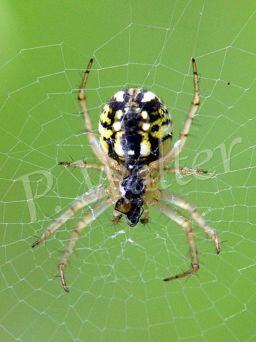 01.06.2018 : dieselbe Spinne von hinten