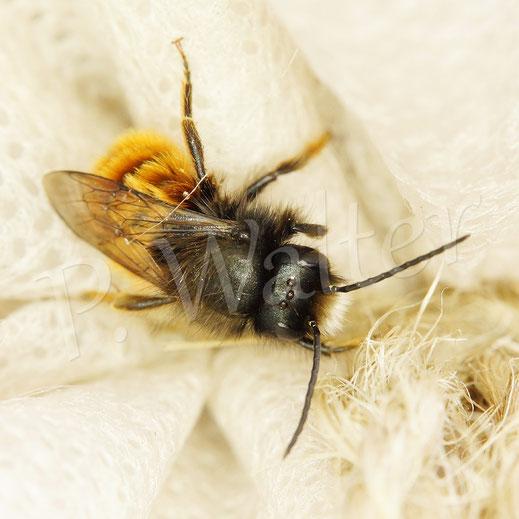 Bild: Männchen der Gehörnten Mauerbiene, Osmia cornuta; regensicher am Wintervlies