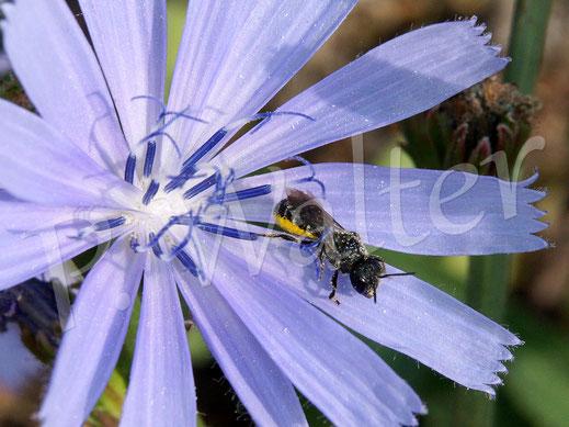 Bild: auch die kleine Löcherbiene, Osmia truncorum, besucht die Wegwartenblüten gerne