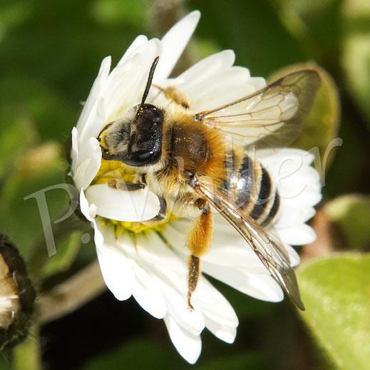 Bild: eine Bindensandbiene am Gänseblümchen