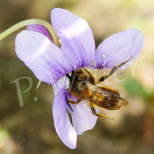Bild: Männchen, Rostrote Mauerbiene, Osmia bicornis, am Veilchen