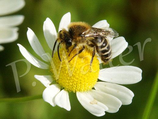 Bild: Seidenbiene, Colletes spec., an der Kamille