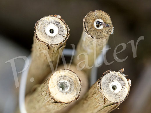 Bild: Bauernjasminstängel, links die kleine Maskenbiene, rechts die Mini-Grabwespe