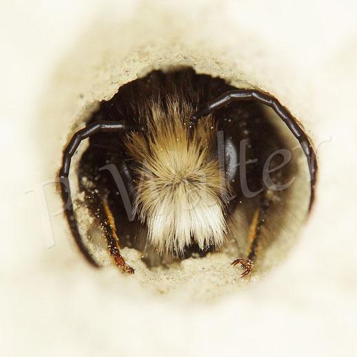 Bild: Männchen der Gehörnten Mauerbiene, Osmia cornuta; Loch im Löss