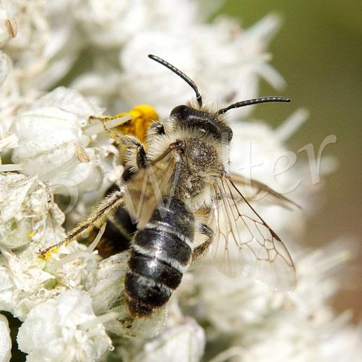 Bild: hier wird ein Weibchen, Sandbiene, etwas unsanft von einem Männchen am Porree / Lauch gestört