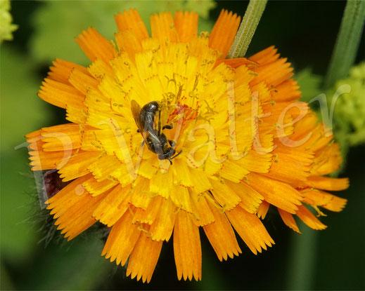 Bild: wohl eine kleine Schmalbiene, Orangerotes Habichtskraut, Hiracium aurantiacum