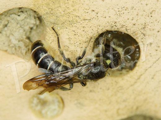 Bild: Hahnenfuß-Scherenbiene, Osmia florisomnis, beim Nistgangverschluss