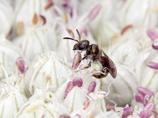 Bild: kleines Furchenbienenweibchen, Halictus spec., am Porree/Lauch