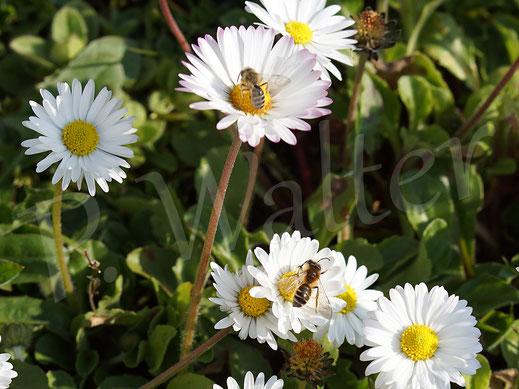 28.03.2020 : auf den Gänseblümchen tummeln sich etliche Sandbienen