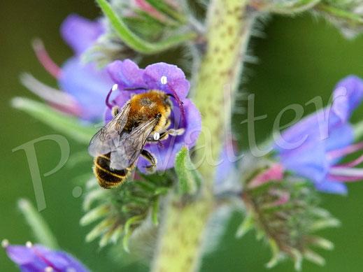 Bild: Männchen der Natternkopf-Mauerbiene, Osmia adunca, am Natternkopf, wo sonst ?!