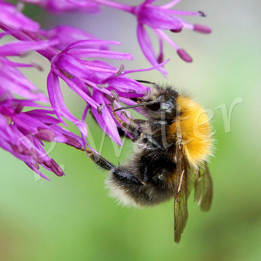 Bild: Baumhummel, Bombus hypnorum, am Allium