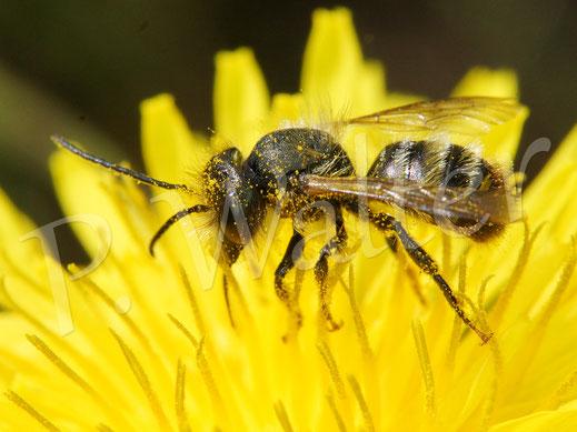 Bild: Wildbiene am Löwenzahn
