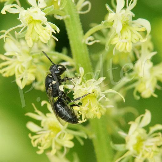 Bild: ein Weibchen der Resede-Maskenbiene, Hylaeus signatus, an der Gelben Resede, Reseda lutea