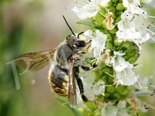 Bild: Garten-Wollbienen, Männchen, Anthidium manicatum, am Weißen Ysop