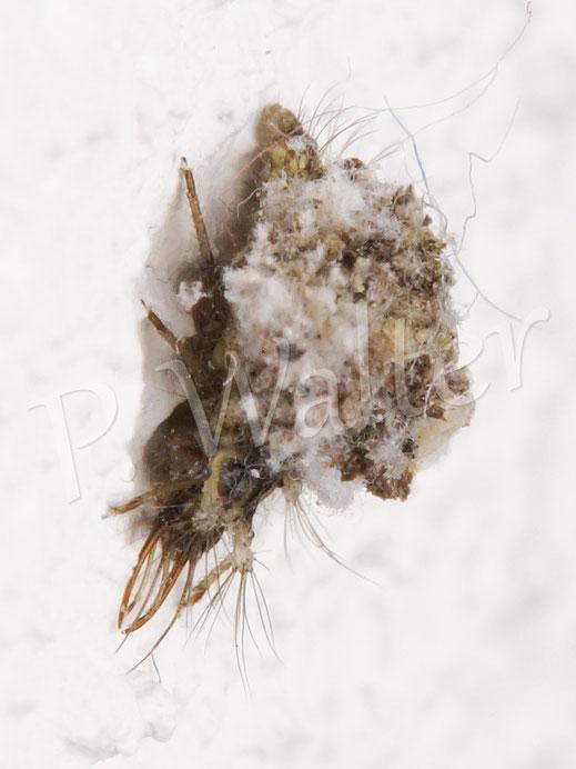 30.12.2018 : Larve, wohl wieder mal aus dem Weihnachtsbaum, hat was von einer Mischung aus Sackträger und Florfliegenlarve !