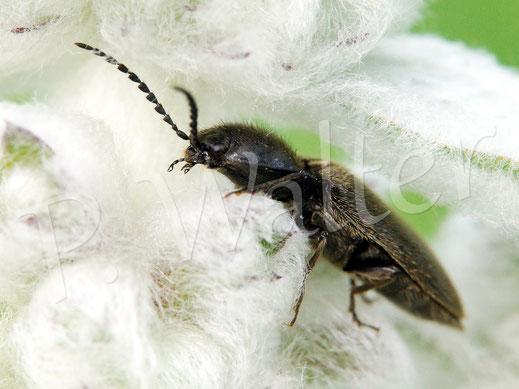 12.06.2016 : Käfer am Woll-Ziest