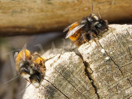Bild: Gehörnte Mauerbiene, Osmia cornuta, rechts ein Pärchen, links zwei Männchen ...