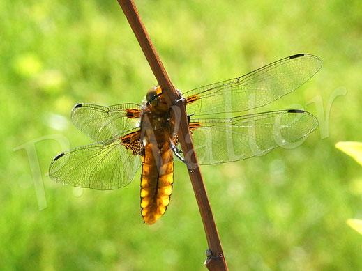 Bild: ein gelber Plattbauch, Libellula depressa, Libelle