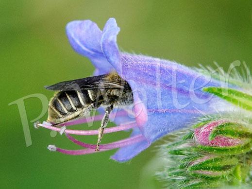 Bild: Weibchen der Natternkopf-Mauerbiene, Osmia adunca, am Natternkopf, wo sonst ?!