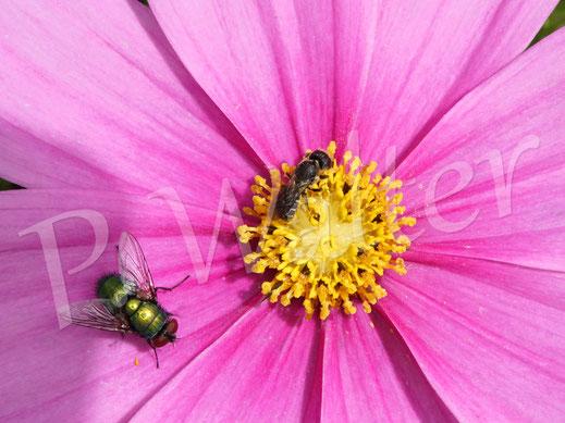 Bild: Löcherbiene, Osmia truncorum, an der Cosmee, Kosmee, Cosmea,eine Schmeißfliege zum Größenvergleich ...
