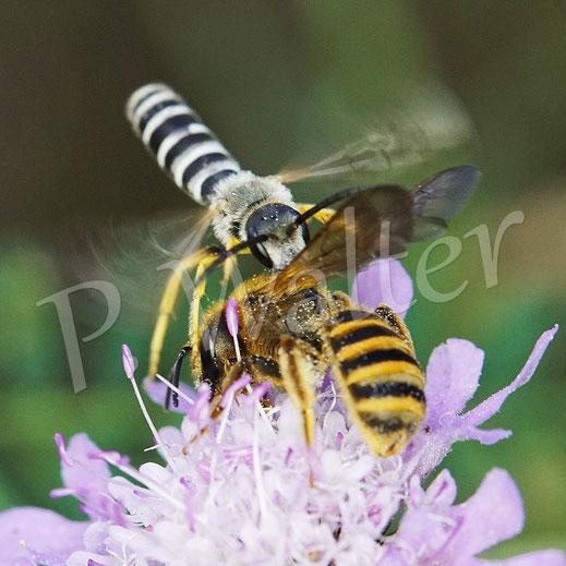 Bild: ein Weibchen der Gelbbindigen Furchenbiene, Halictus scabiosae, wird beim Nektartrinken an einer Skabiose jäh von einem sehr hell ausgeblichenem Männchen gestört