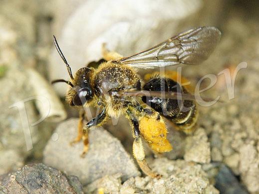 Bild: Weibchen der Wald-Schenkelbiene, Macropis fulvipes