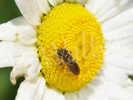 21.05.2020 : eine Furchenbiene an der Wiesen-Margerite, Weibchen, Halictus spec.