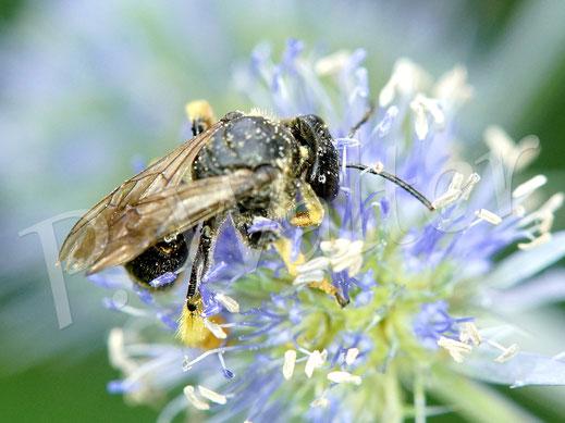 28.07.2020 : eine Wald-Schenkelbiene, Macropis fulvipes, an der Kugeldistel