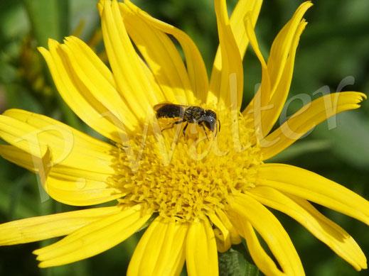 Bild: Löcherbiene, Osmia truncorum, Heriades truncorum, Weibchen sammelt Pollen am Weidenblättrigen Ochsenauge