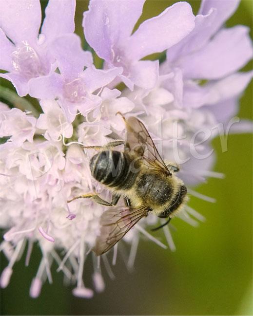 Bild: Blattschneiderbiene, Mörtelbiene, Megachile spec., Tauben-Skabiose, Scabiosa columbaria