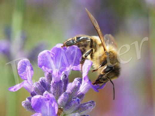 Bild: Honigbiene, Apis mellifera, am Lavendel
