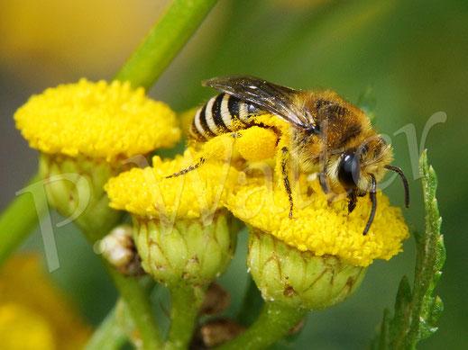 Bild: Seidenbiene, Colletes spec., Weibchen am Rainfarn