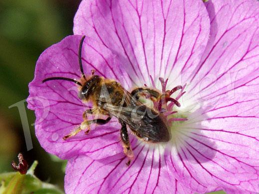 Bild: Männchen der Wald-Schenkelbiene, Macropis fulvipes, an einer Blüte des Storchschnabels