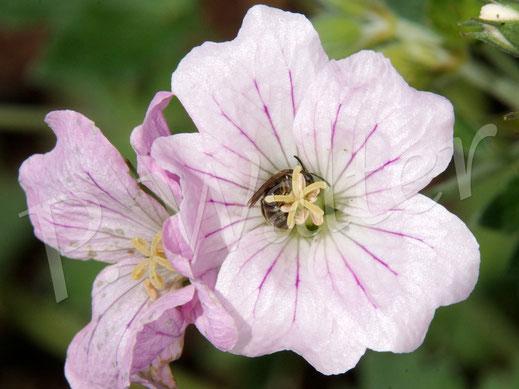 Bild: Maskenbiene an einer Blüte des Storchschnabels