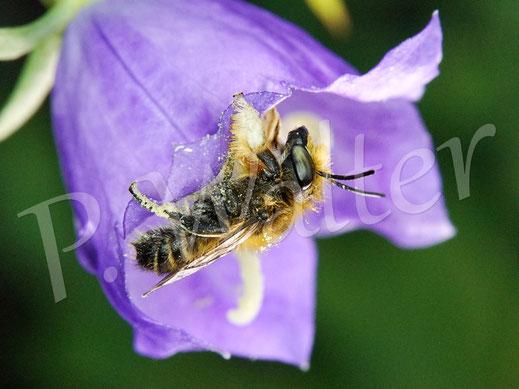 Garten-Blattschneiderbiene, Megachile willughbiella (Männchen)