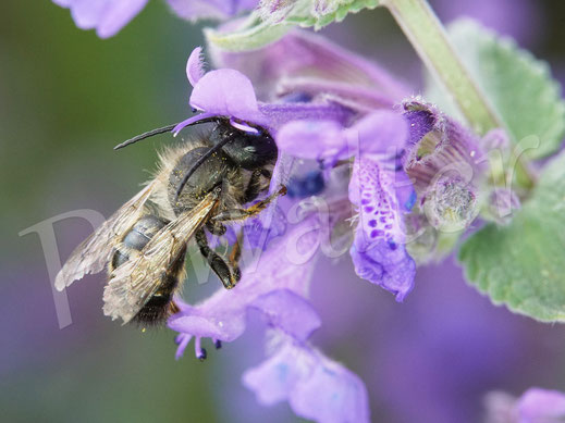 Bild: altes, abgeflogenes Männchen der Rostroten Mauerbiene, Osmia bicornis, an der Katzenminze