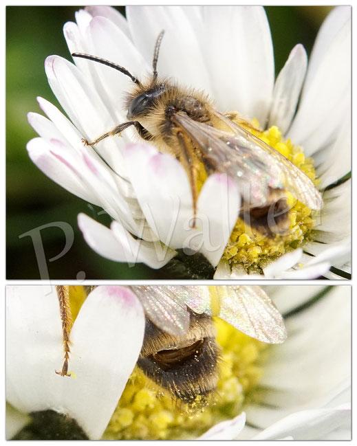 Bild: eine Sandbiene, Andrena spec., bei der man zwei verlassene Puppenhüllen männlicher Fächerflügler, Stylops spec., erkennen kann