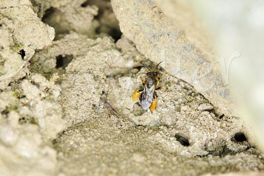 Bild: Weibchen der Wald-Schenkelbiene, Macropis fulvipes, am Nistloch, Nistausgänge, Kolonie