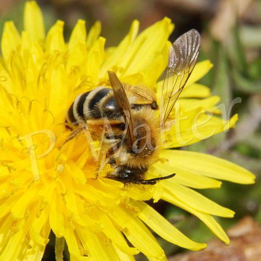 Bild: eine Bindensandbiene (?) am Löwenzahn