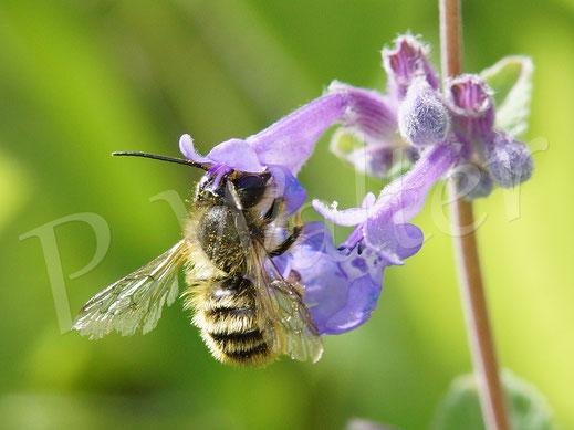 Bild: wohl auch ein Männchen, aber von einer anderen Mauerbienenart, Osmia spec., an der Katzenminze