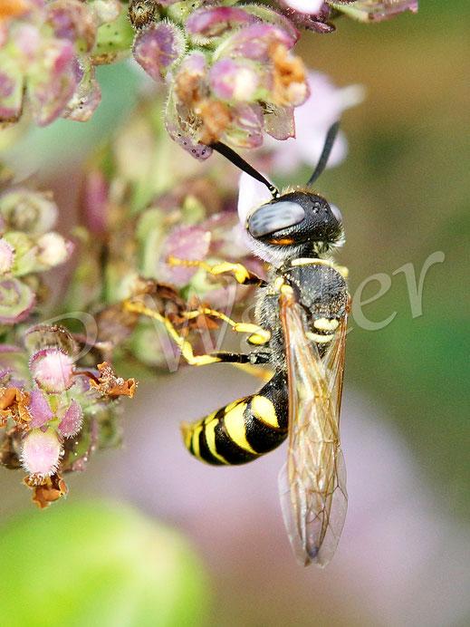 Bild: Bienenwolf, Philanthus triangulum, Oreganoblüten, Dost, Nektar