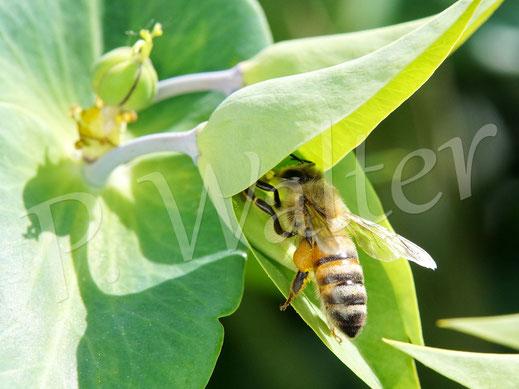 Bild: Honigbiene, Apis mellifera, an der Kreuzblättrigen Wolfsmilch