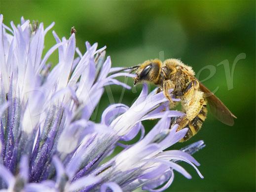 Bild: Gelbbindige Furchenbiene, Halictus scabiosae, an der Kugeldistel, Echinops