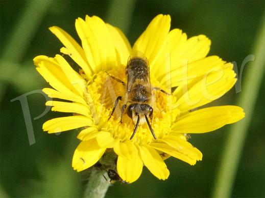 20.06.2021 : wahrscheinlich Colletes daviesanus, die Buckel-Seidenbiene, Männchen auf der Färber-Hundskamille