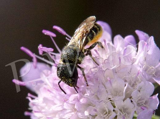 Bild: Löcherbiene, Osmia truncorum, an einer Skabiose