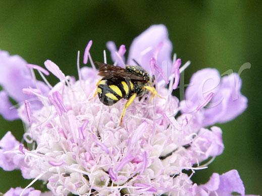 Bild: höchstwahrscheinlich die Kleine Harzbiene, Anthidium strigatum, die hier Nektar der Tauben-Skabiose trinkt