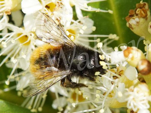 Bild: Gehörnte Mauerbiene, Osmia cornuta, Weibchen, trinkt Nektar der Kirschlorbeerblüten