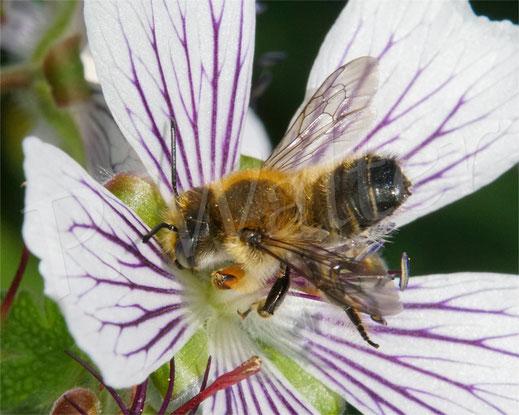 Bild: die erste Blattschneiderbiene des Jahres, ein Männchen der Garten-Blattschneiderbiene, Megachile willugbiella, am Storchschnabel