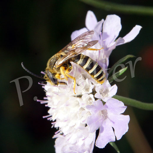 Bild: Gelbbindige Furchenbiene, Halictus scabiosae, Männchen, an einer Skabiose